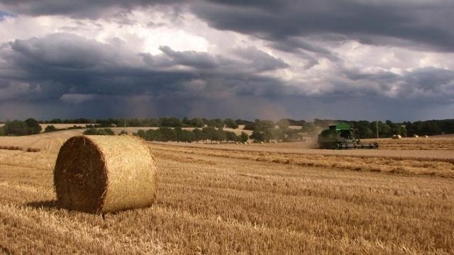 Wheat harvest in Surlingham