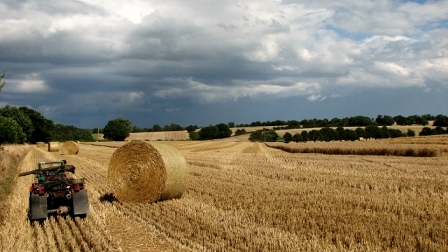 Wheat crop in the process of being harvested