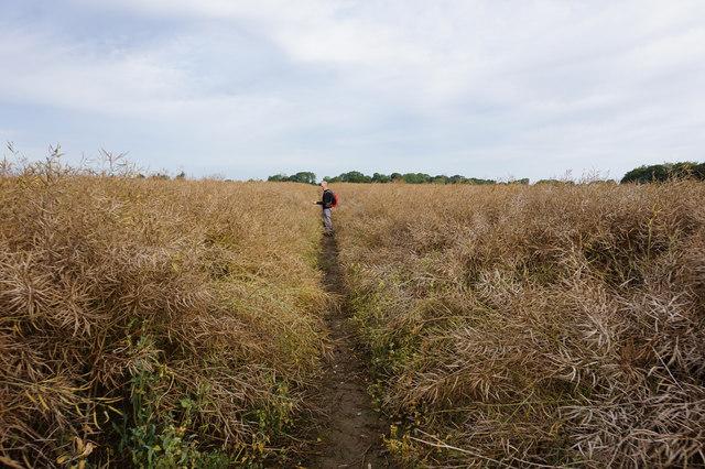 Oil seed rape crop near Ganstead