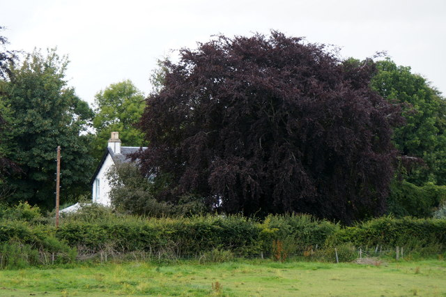 A copper beech at Wester Lovat