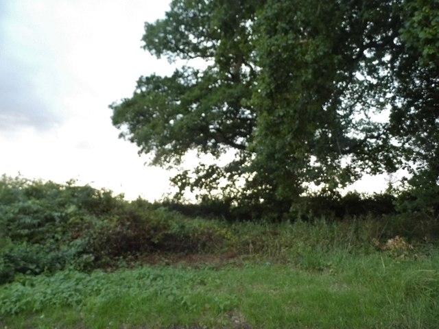 Tree in Whittonditch