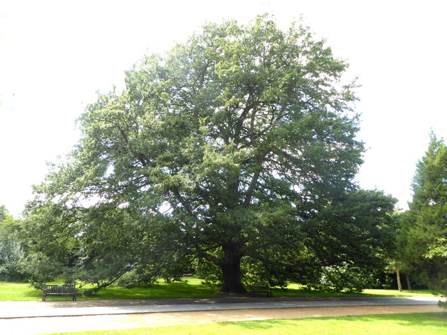 Turkey oak tree, Dulwich Park