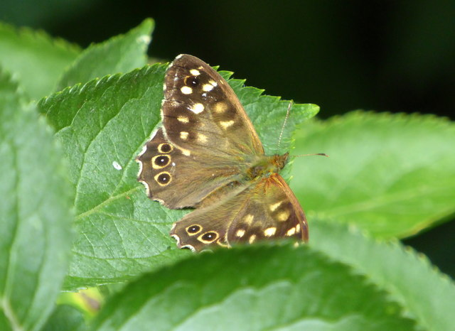 Speckled wood butterfly in Stodmarsh National Nature Reserve