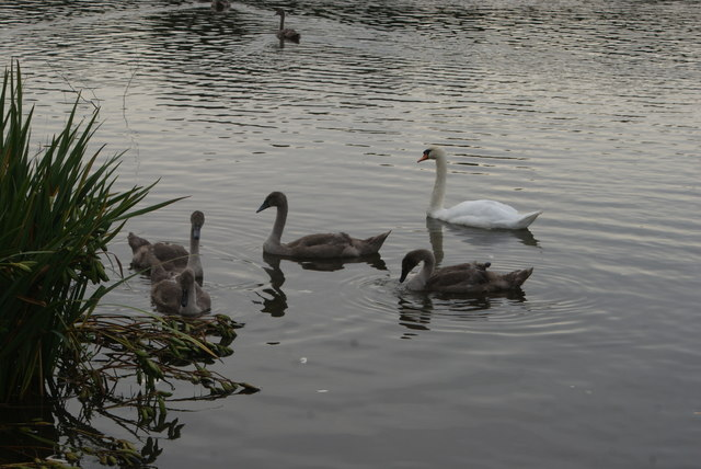 View of a swan and cygnets on Connaught Water