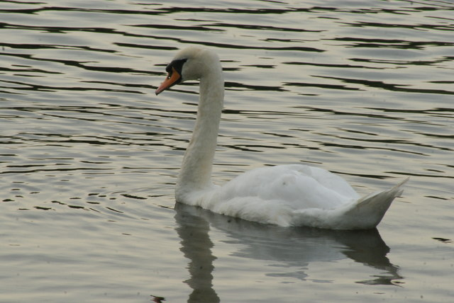 View of a swan on Connaught Water