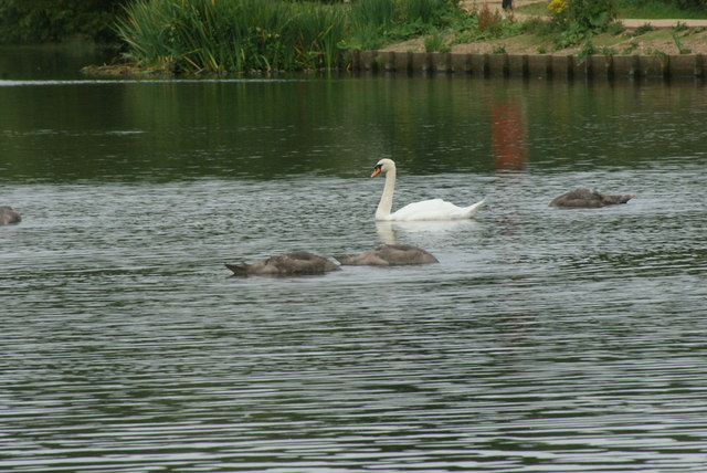 View of a swan and cygnets on Connaught Water #2