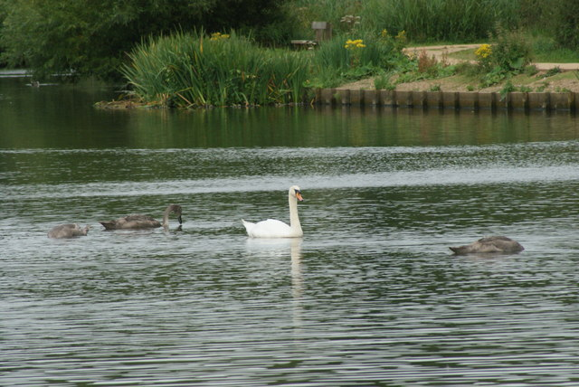 View of a swan and cygnets on Connaught Water #3