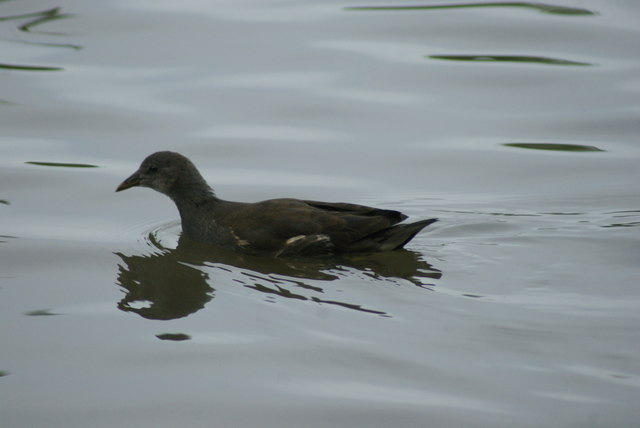 View of a young moorhen on the lake at Connaught Water