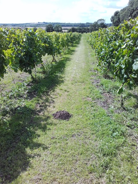 Vines, Somerby Vineyard