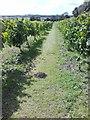 TA0606 : Vines, Somerby Vineyard by Alex McGregor