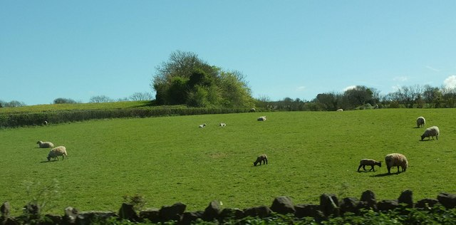 Sheep by the A38
