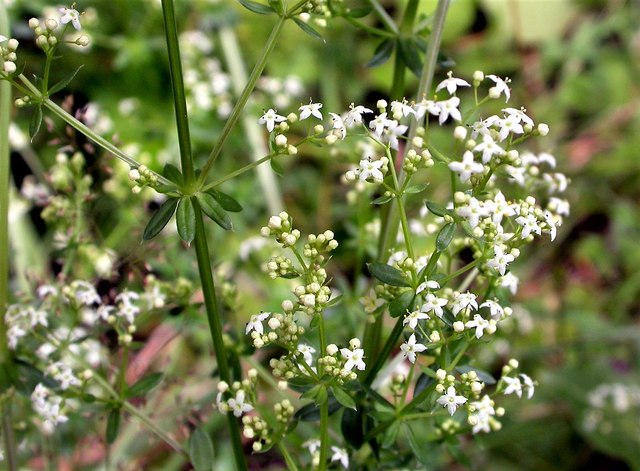 Hedge bedstraw by Love Lane in Mayfield