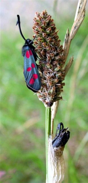 Six-spot burnet: moth with its pupal case below
