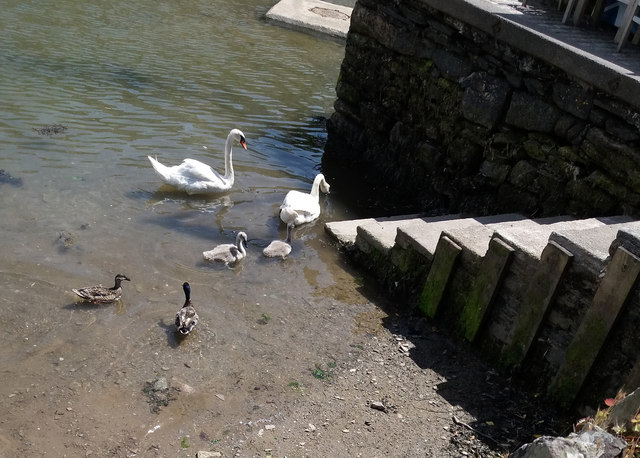 Noss Creek: swans and cygnets