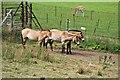 SH8379 : Przewalski's horses by Richard Hoare