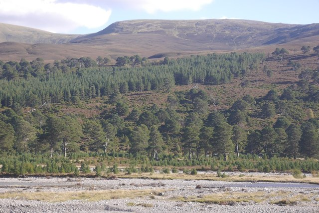 Young pines, Glen Feshie
