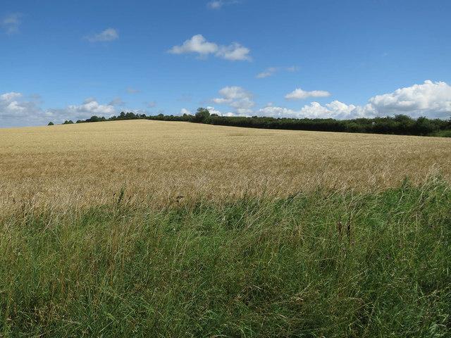 Ripe barley by Wort's Causeway