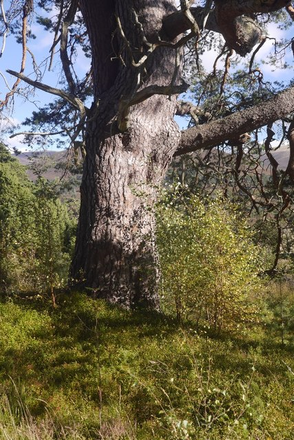 Granny pine, Glen Feshie