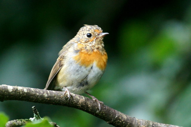 A 'teenage' Robin, Struy