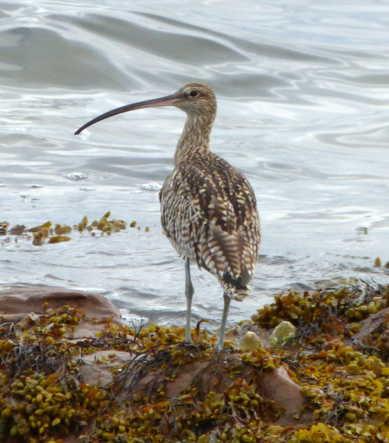 Curlew at Lunderston Bay