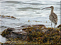 NS2073 : Curlew at Lunderston Bay by Thomas Nugent