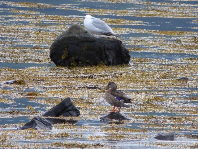 Sea birds at Lunderston Bay