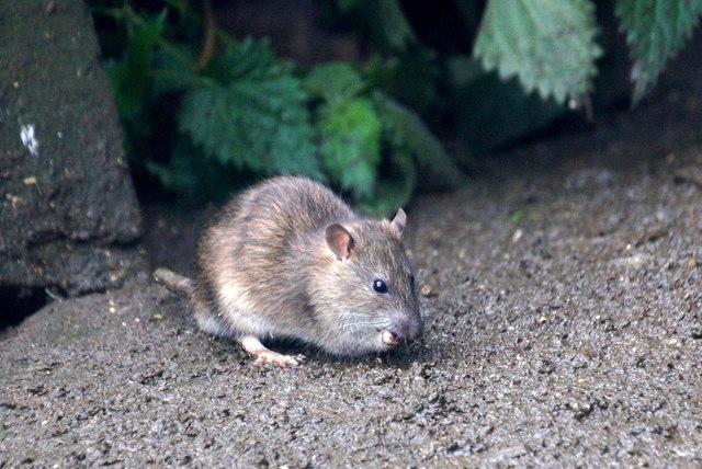 Brown Rat (Rattus norvegicus), Struy