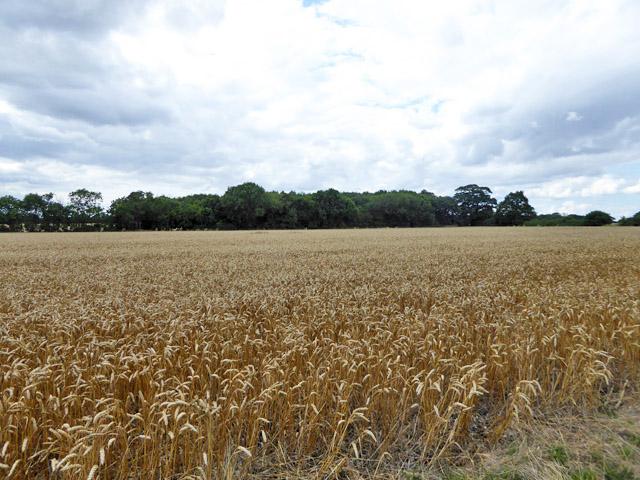 Wood across a wheat field