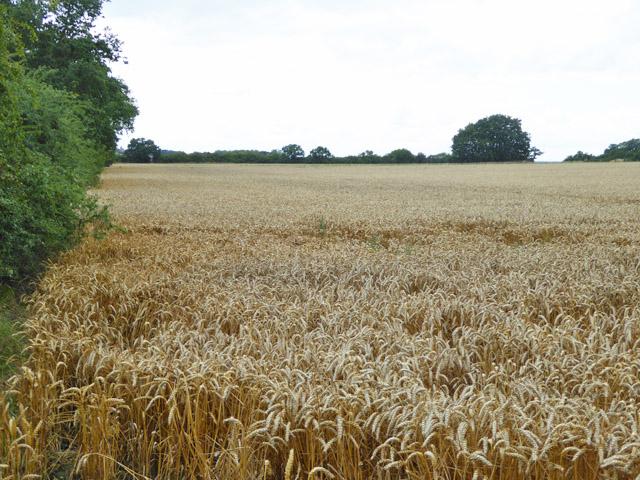 Wheat field north of Apton Hall