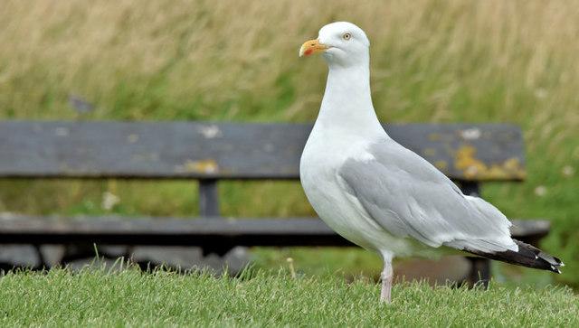 Herring gull, Donaghadee (August 2017)