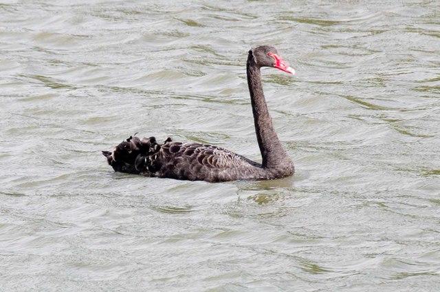 Black Swan on The Stour
