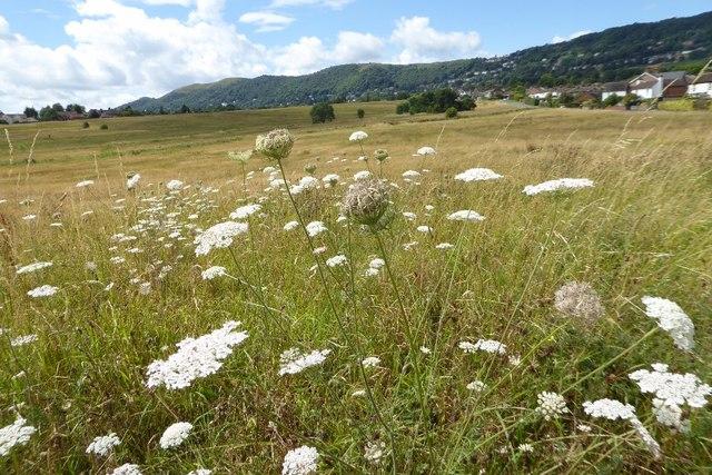 Wildflowers on Malvern Common