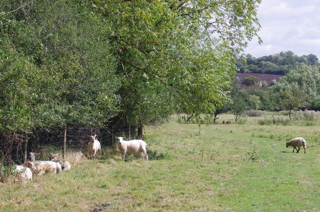 Sheep Beside the Stour Valley path