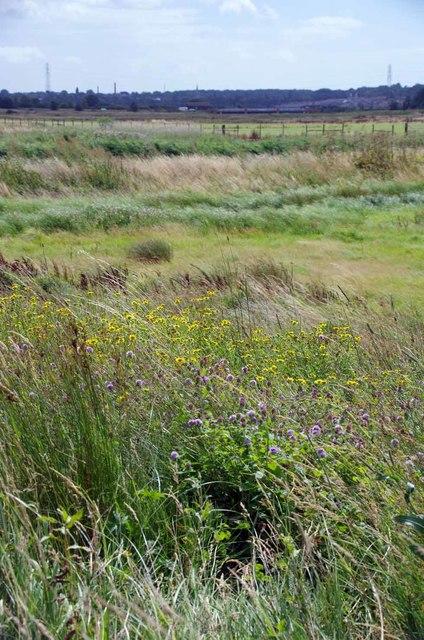 Water Mint & Fleabane in Cattawade Marshes