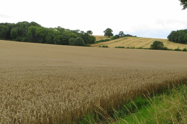 Deciduous plantation at the edge of a wheatfield