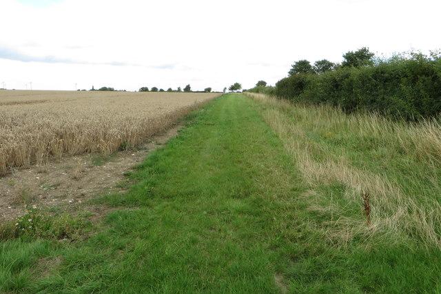 Wheatfield and hedge
