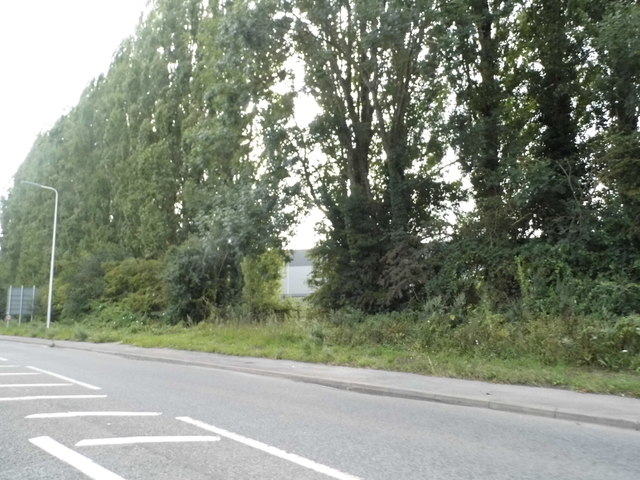 Tall trees along Bath Road, Aldermaston