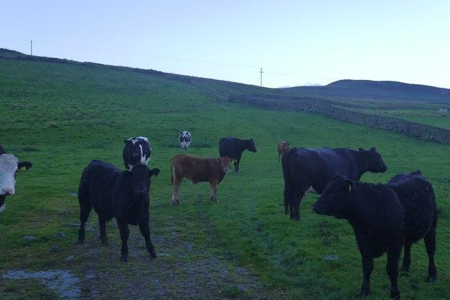 Cattle, Bainbridge Low Pasture