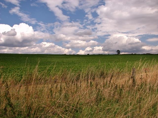 Sugar beet field south of Arminghall Lane
