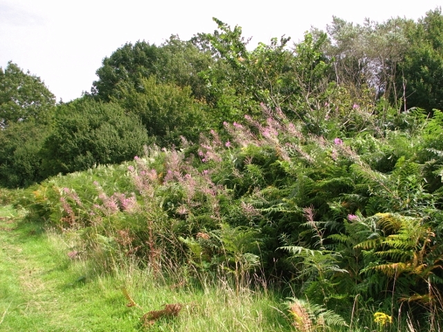 Rosebay willowherb and bracken