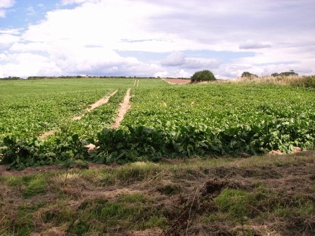 Sugar beet crop field beside the Boudica's Way