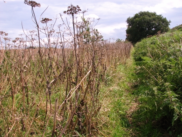 Narrow path between hogweed and bracken