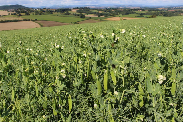 Peas growing at Linton Hill