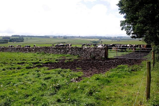 Cattle Near Haddon Grove Farm