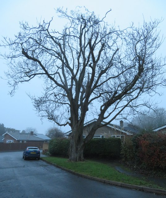 An old walnut tree - Kings Orchard