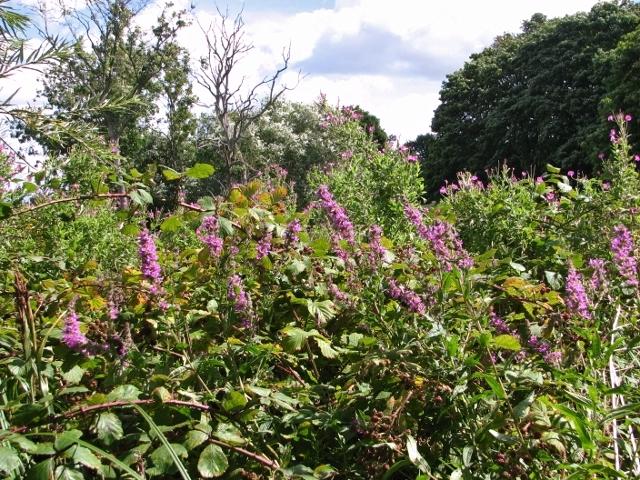 Purple loosestrife in abundance beside the River Yare