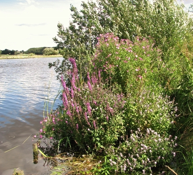 Wild flowers beside the River Yare