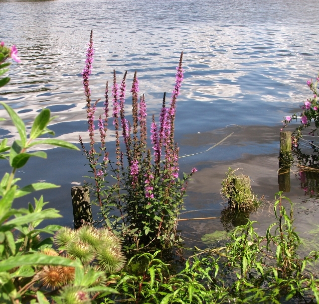 Purple loosestrife flowering beside the River Yare
