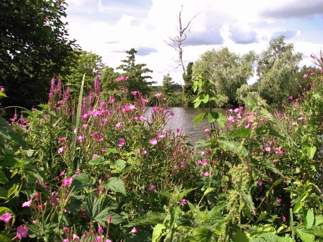 Great willowherb and Purple loosestrife flowering beside the River Yare