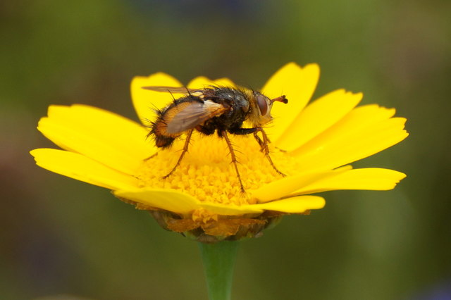 The Tachinid fly Tachina fera, Musselburgh Golf Club